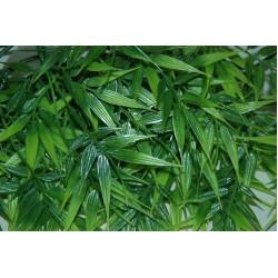 Madagascan Bamboo Plants