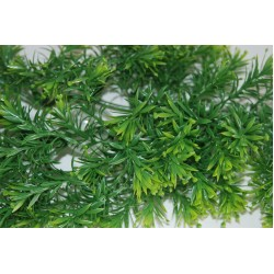 Borneo Star Plants