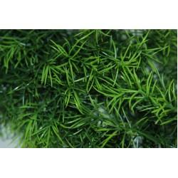 Cashuarina Plants