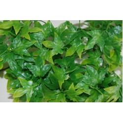 Congo Ivy Plants