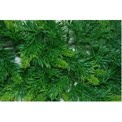 Australian Maple Plants